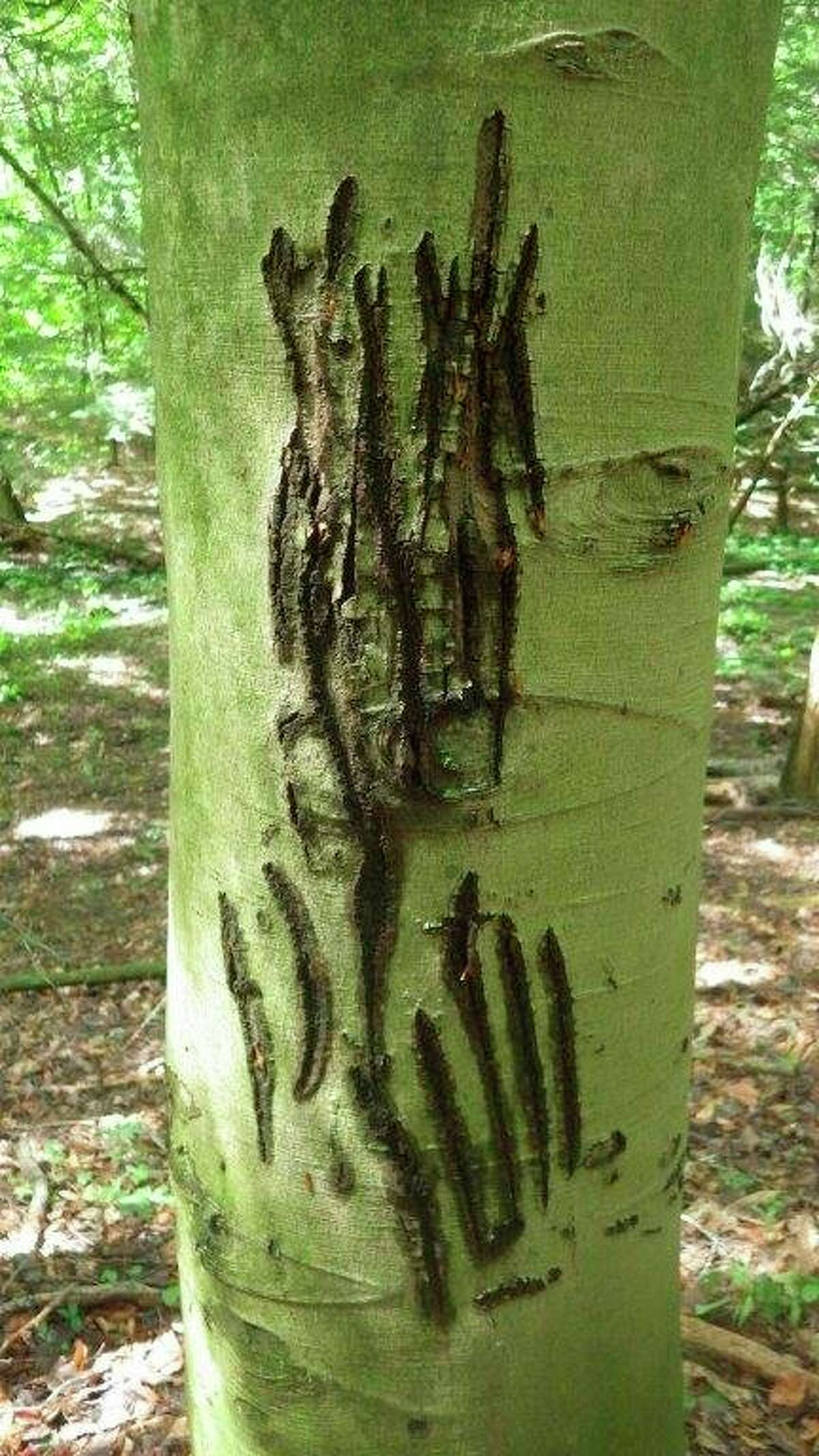 """Pictured are the telltale claw marks of a visiting black bear marking histerritory on a beech tree in the Thumb's Murphy Lake State Game area insouthwest Tuscola County. Male bears on a """"walk-about"""" can cover a lot ofterritory. (Tom Lounsbury/Hearst Michigan)"""