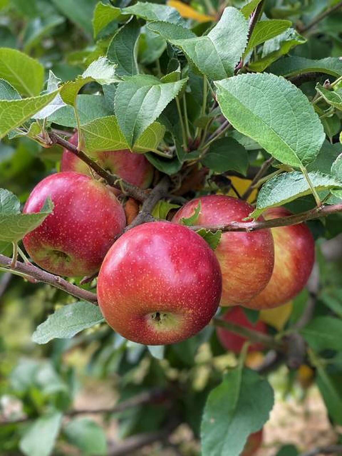 Empire Apples are available at Liberty Apple Orchard in Edwardsville.