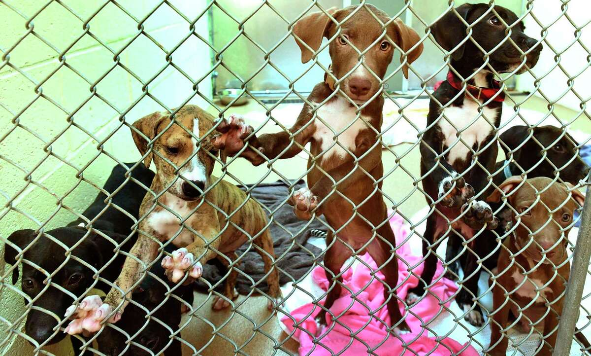 Pit Bull puppies that are for adoption at PAWS Tuesday, August, 23, 2021, in Norwalk, Conn. Clear the Shelters Week was extended this year to a month-long process due to the pandemic.