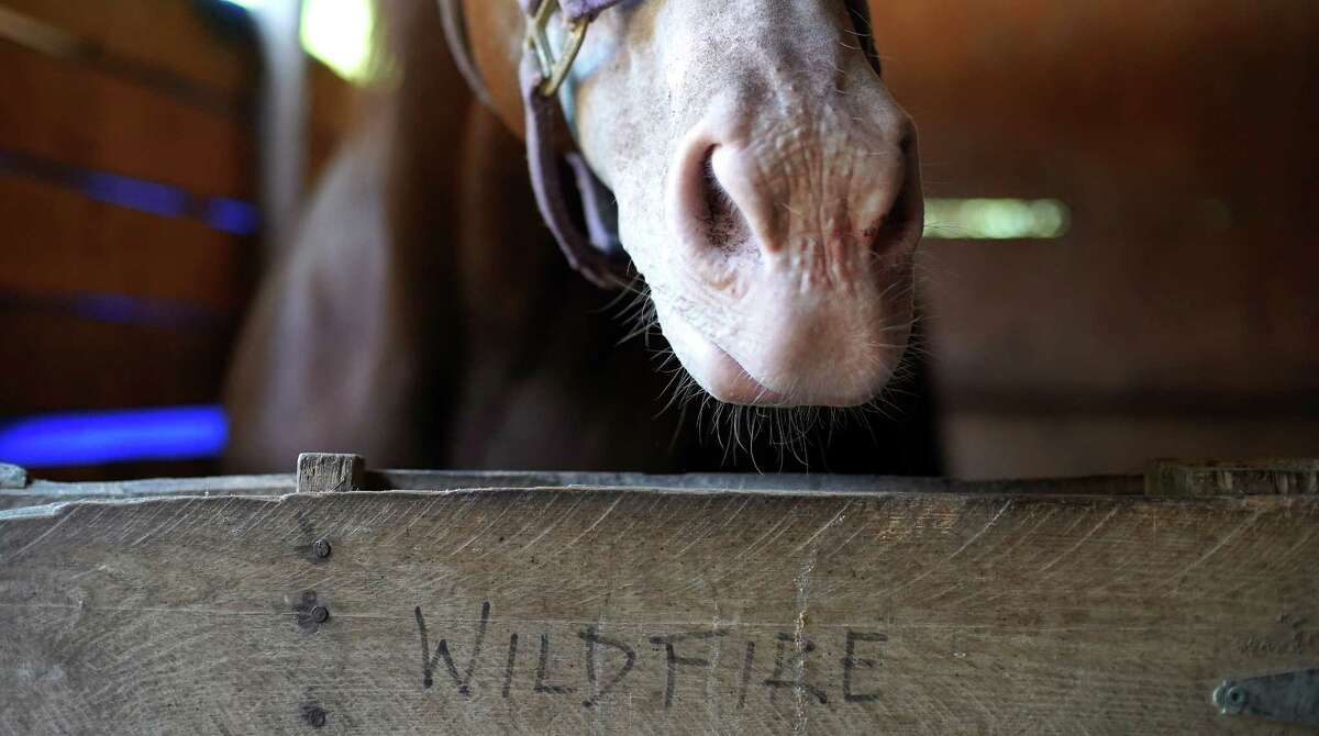 Wildfire, a rescue horse at Amazing Grace Acres Equestrian Rescue in Ace on Friday 20th August 2021.