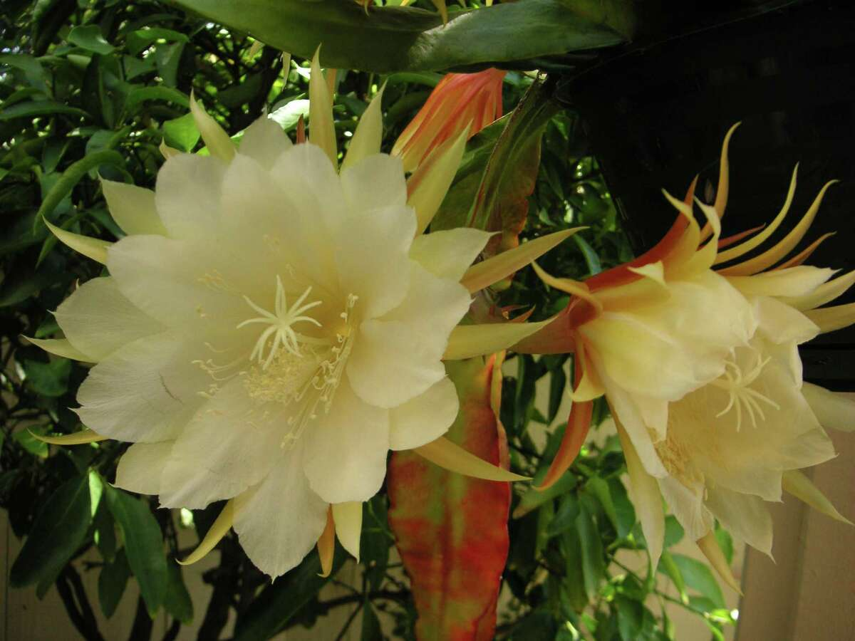 Epiphyllum, also known as orchid cactus, has stems but no leaves.