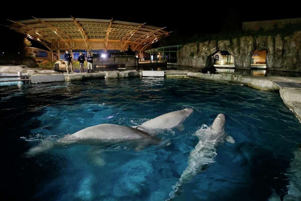 Three beluga whales swim together in an acclimation pool after arriving at Mystic Aquarium, May 14, 2021 in Mystic, Conn.