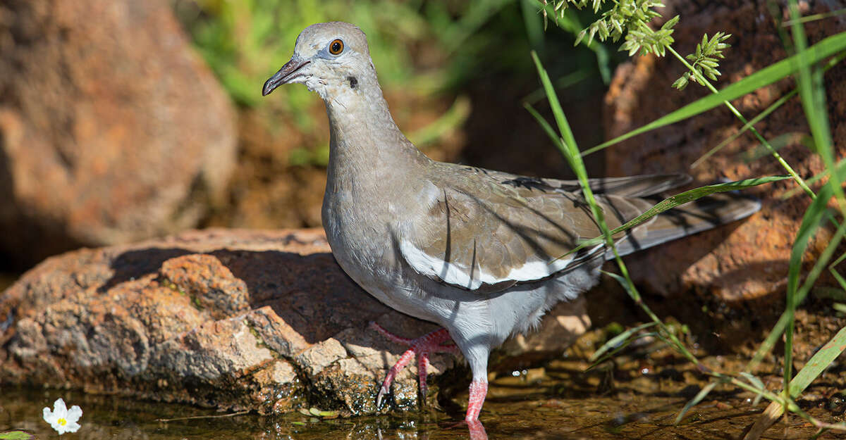 Birds, like this white-winged dove, cool off by standing in cool water. Photo Credit: Kathy Adams Clark Restricted use.