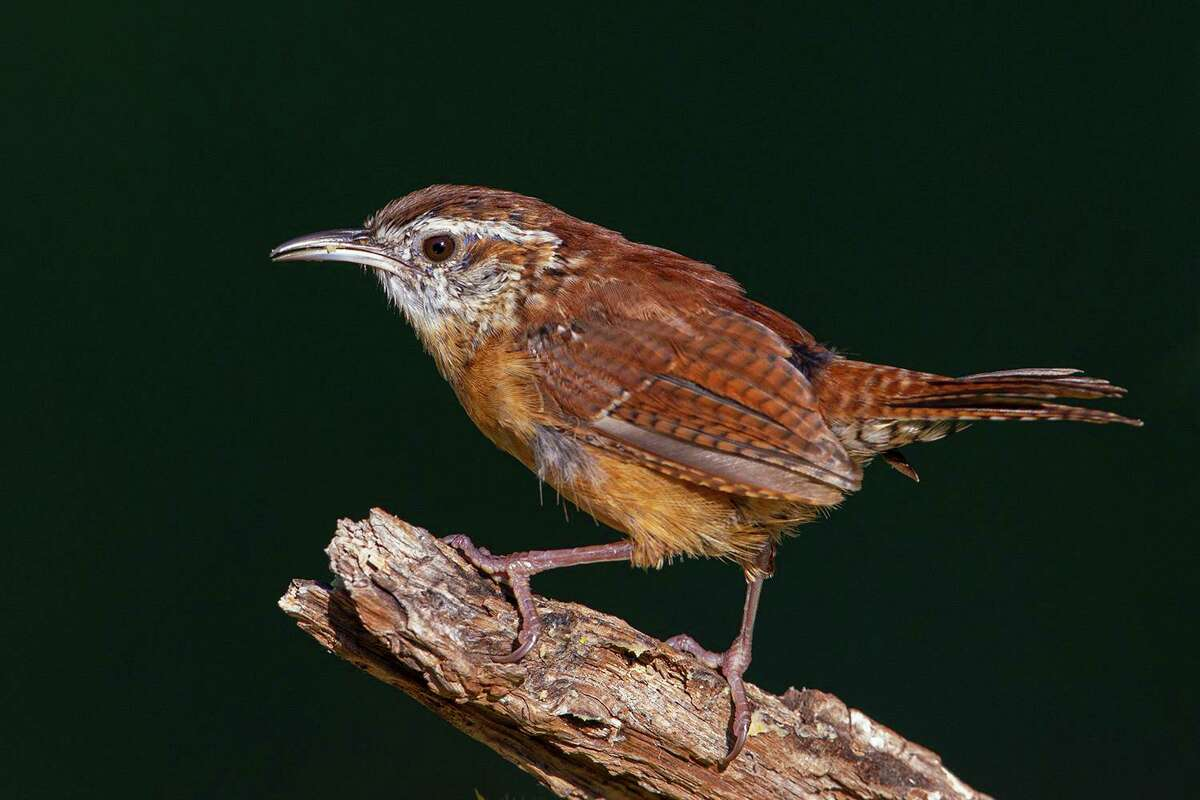 Carolina wrens look pitiful in their dilapidated plumage in late summer. They will molt into a full coat of new feathers by November. Photo Credit: Kathy Adams Clark. Restricted use.