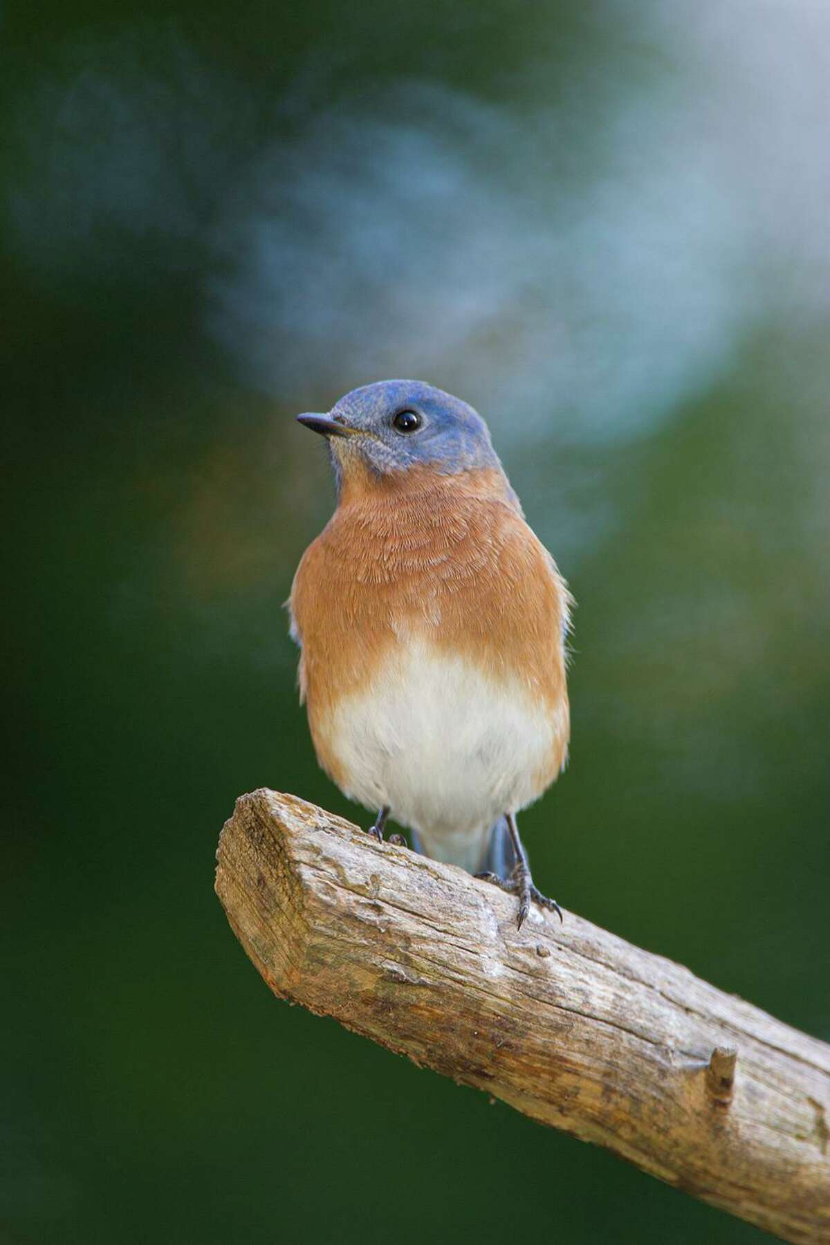 Eastern bluebirds will molt into a new set of feathers by November. Photo Credit: Kathy Adams Clark. Restricted use.