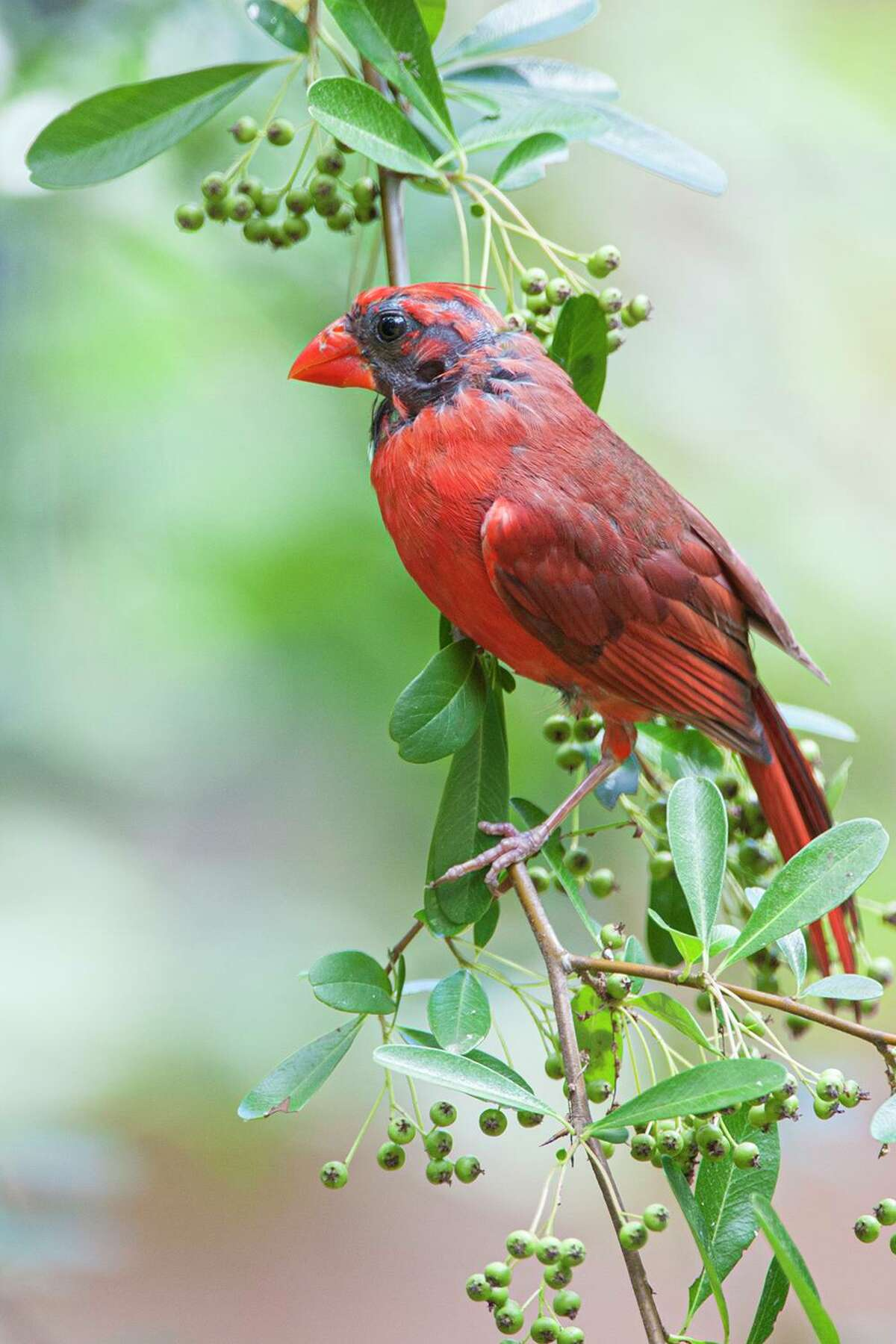 Many birds, like this northern cardinal, are going through feather molt at the end of summer.