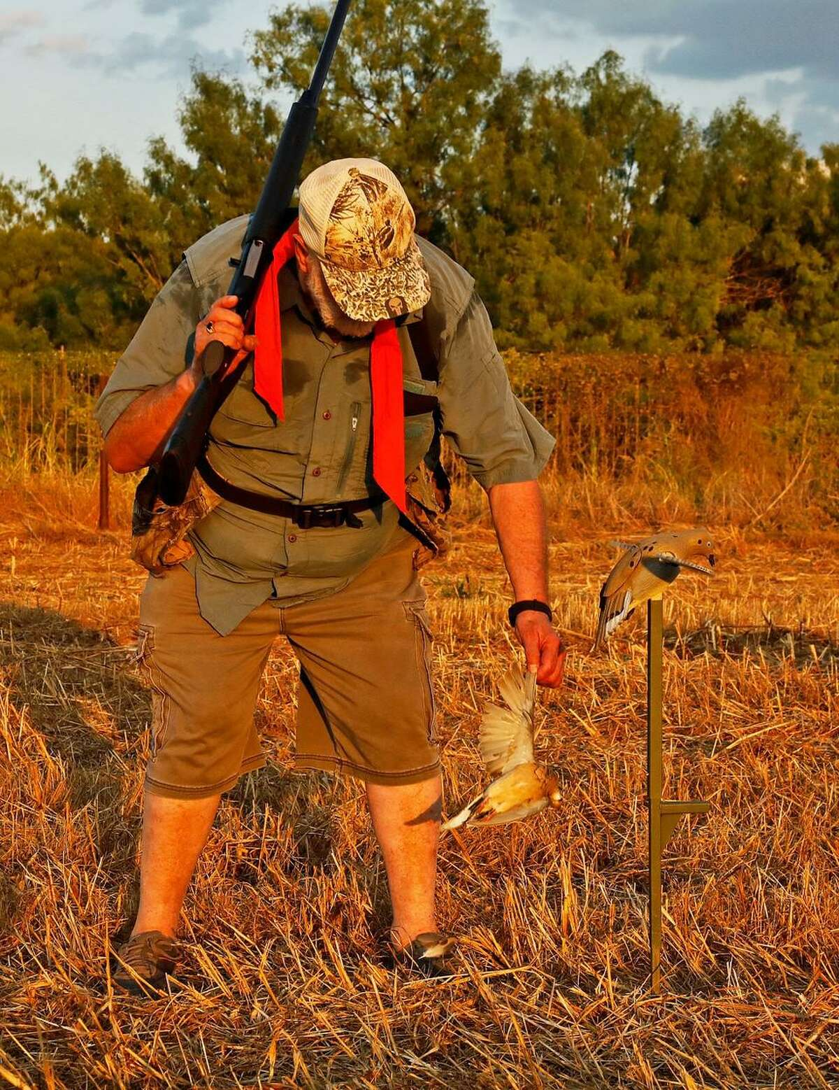 A hunter retrieves a mourning dove that fell beside a MOJO Voodoo Dove decoy set up in the stubble of a field of milo.