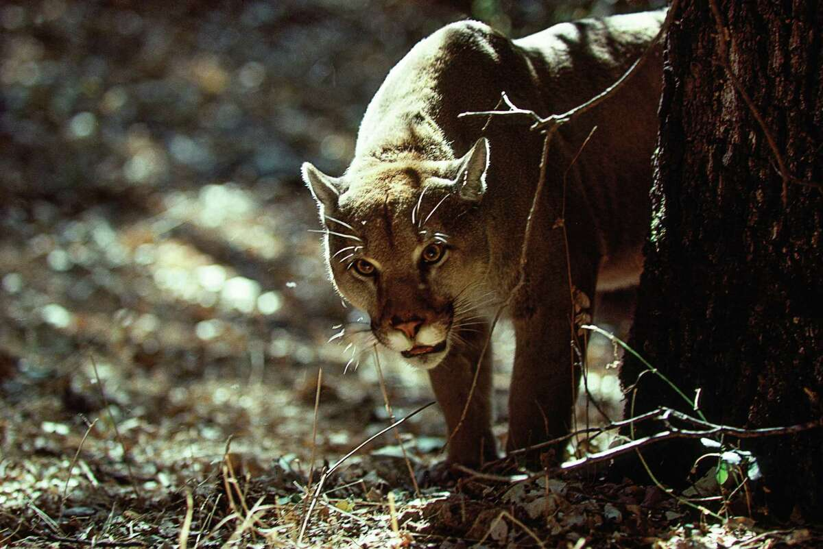 A cougar, much like the one pictured here in California, was spotted again in New Canaan Thursday, according to animal control.