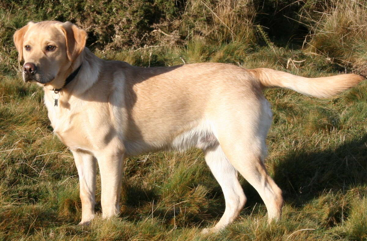Labrador Retriever:This dog comes from Canada. Newfoundland to be specific. Over time, British breeders adapted the breed to what it is today.