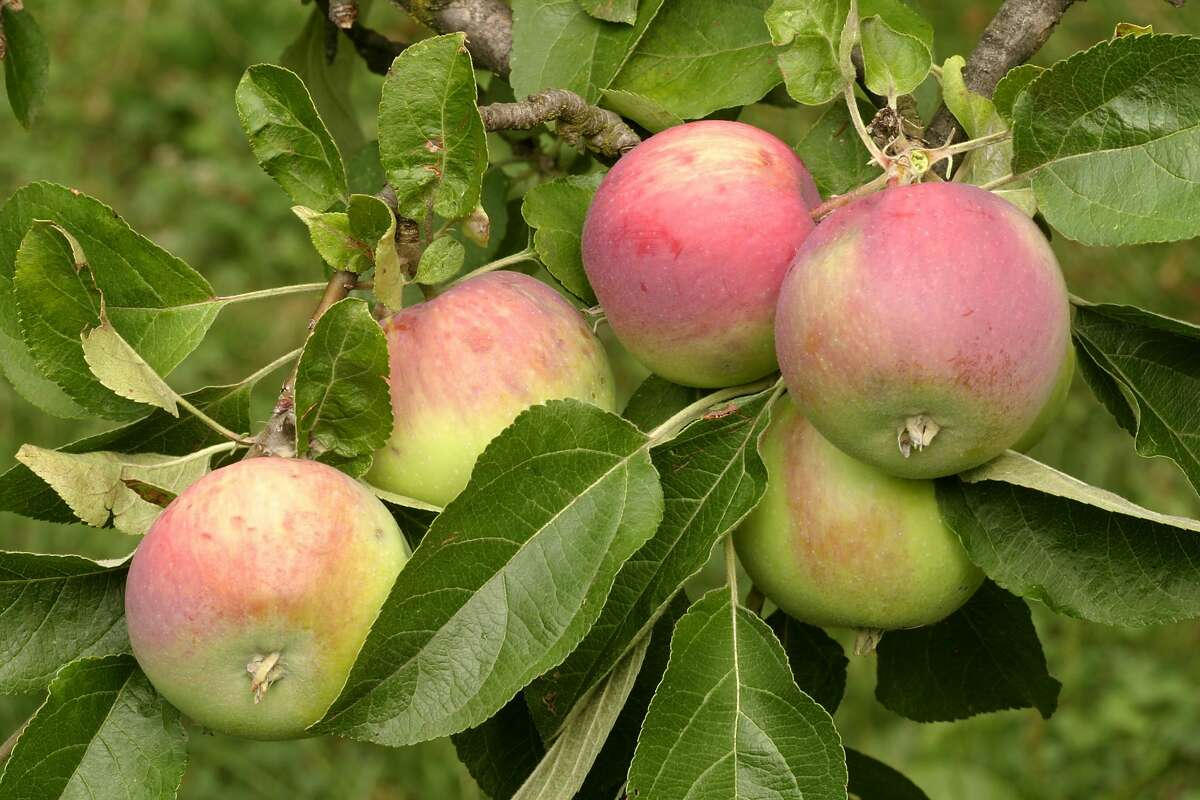 Jonathan apples are used in apple butter and are also used for baking but can also be eaten by themselves. They are sweet and tart with a firm texture.