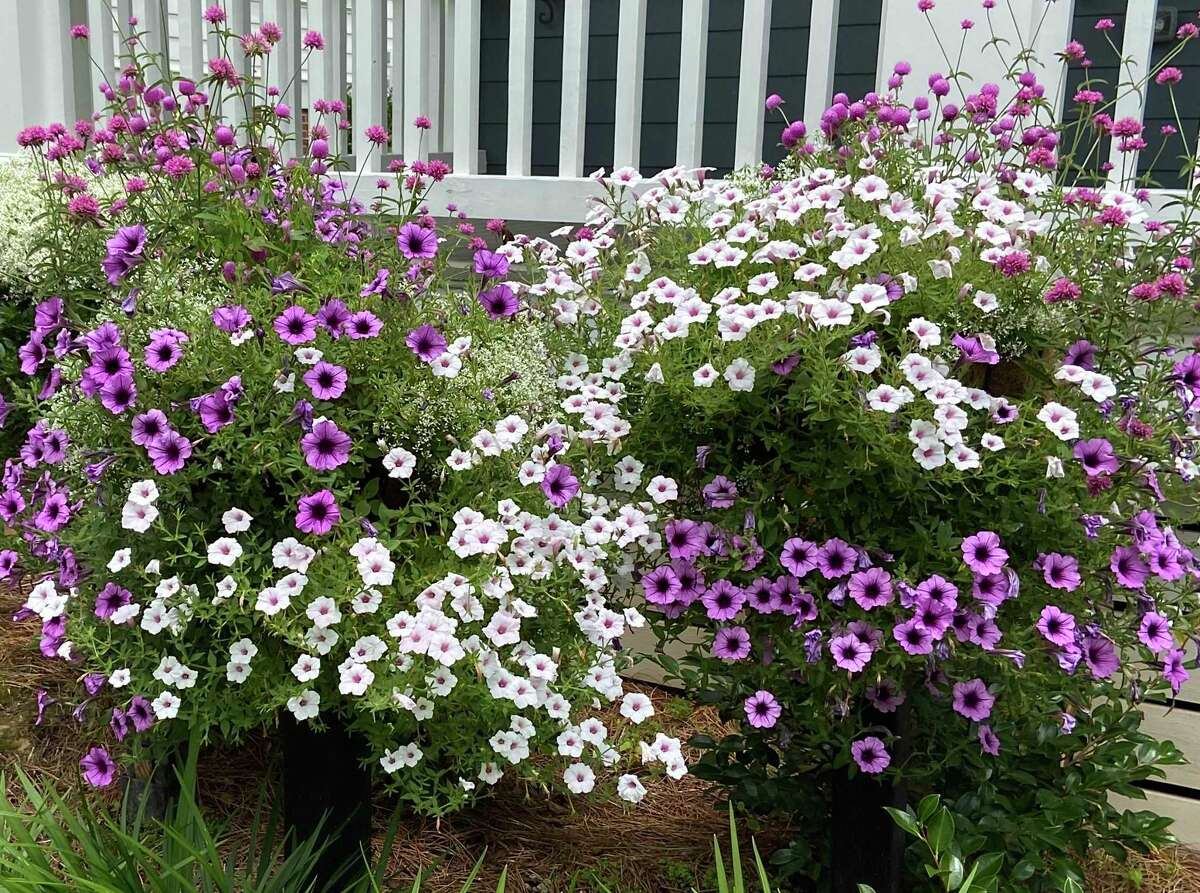 Border columns are like large mounted baskets. Here they are planted with Supertunia Bordeaux, Supertunia Vista Silverberry, Diamond Frost euphorbia and Truffula Pink gomphrena.