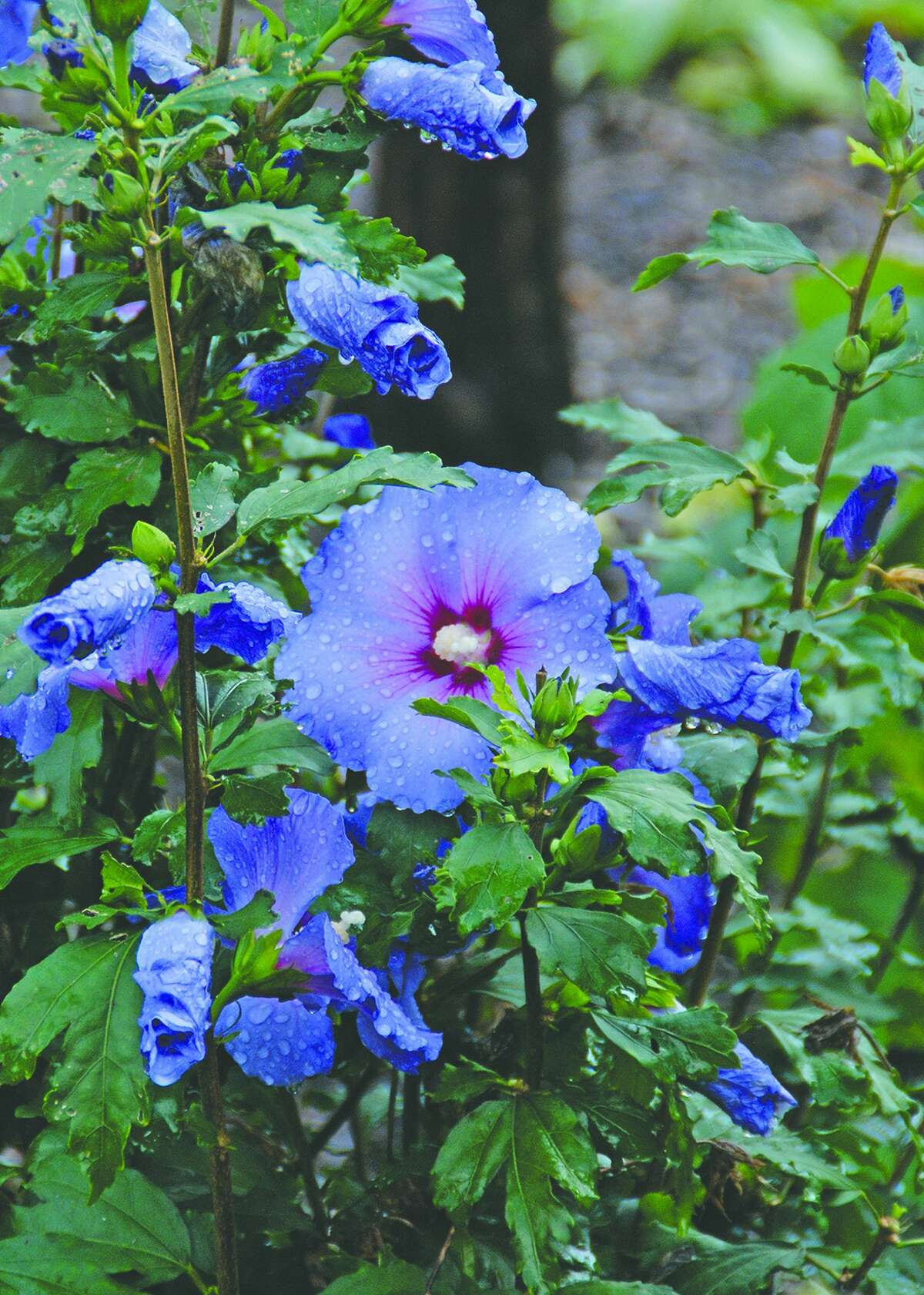 Include summer blooming shrubs like this Blue Satin Rose of Sharon to brighten up the summer garden.