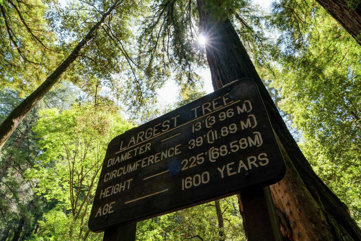 A sign for Largest Tree stands in front of the tree in Memorial Park near Loma Mar, Calif., on Thursday, August 26, 2021.