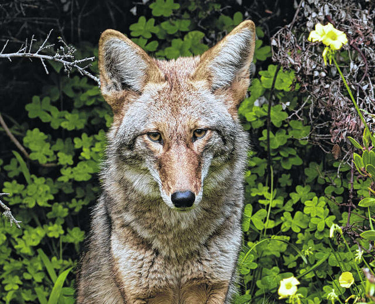 Glen Carbon Police are planning to hire a state-certified wildlife control operator to hunt coyotes for a week within the Lakewood Subdivision using air rifles.