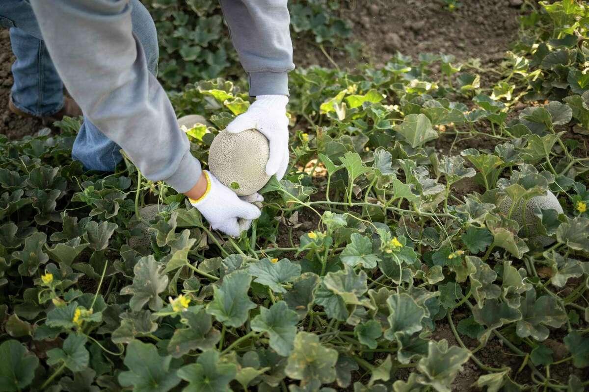 A farm worker harvests a melon at Del Bosque farms in Firebaugh, Calif.