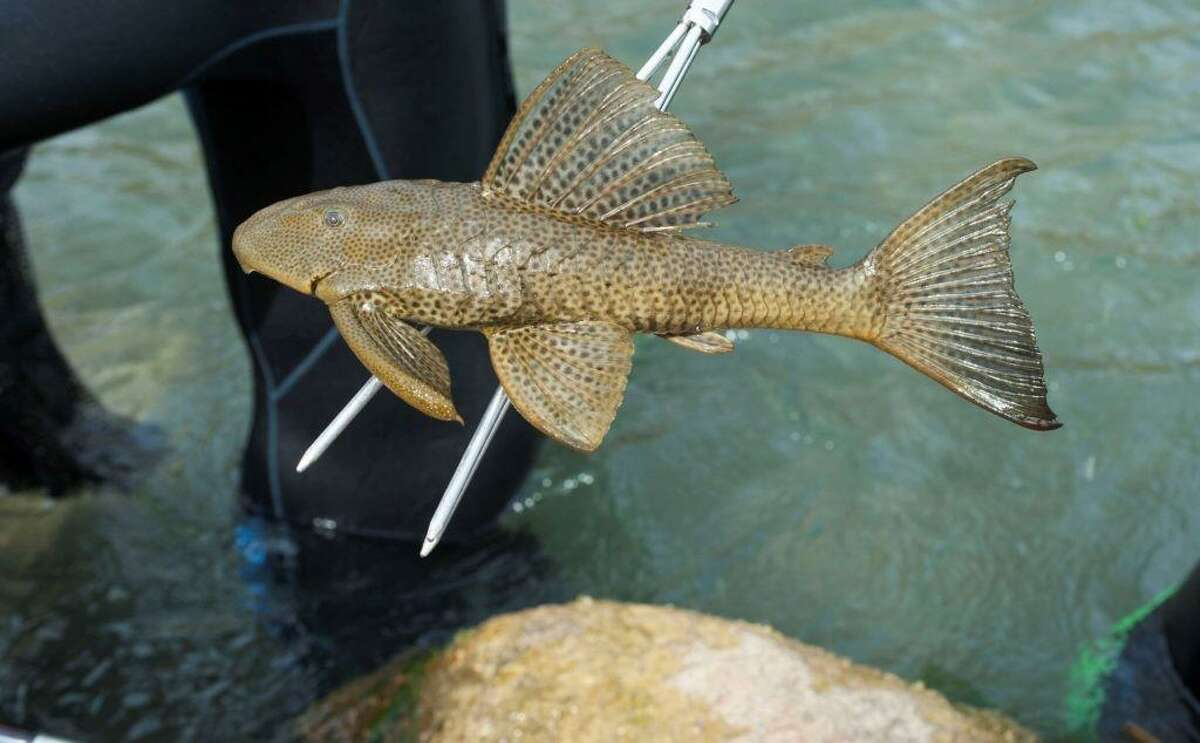 An armored catfish, which is one of two invasive fish species in the San Marcos River, is pictured at the end of a spear. The Edwards Aquifer Habitat Conservation Plan was enacted in 2013 in part to remove invasive fish from the San Marcos River.