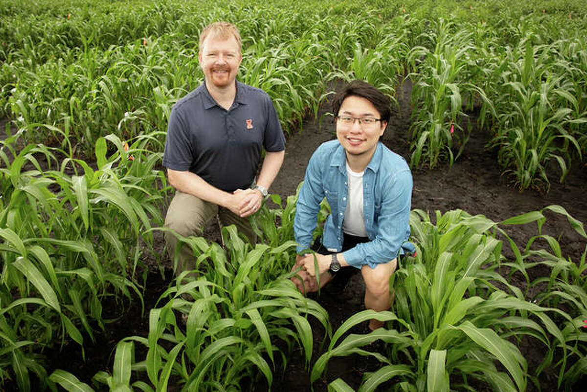 Andrew Leakey, left, Jiayang (Kevin) Xie and their colleagues have developed an improved method for analyzing features of plant leaves that contribute to water-use efficiency in crops like corn, sorghum (pictured) and Setaria. They used advanced statistical approaches to identify regions of the genome and lists of genes that contribute to these traits.