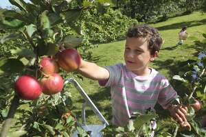 A child picks apples in an orchard during fall harvest.