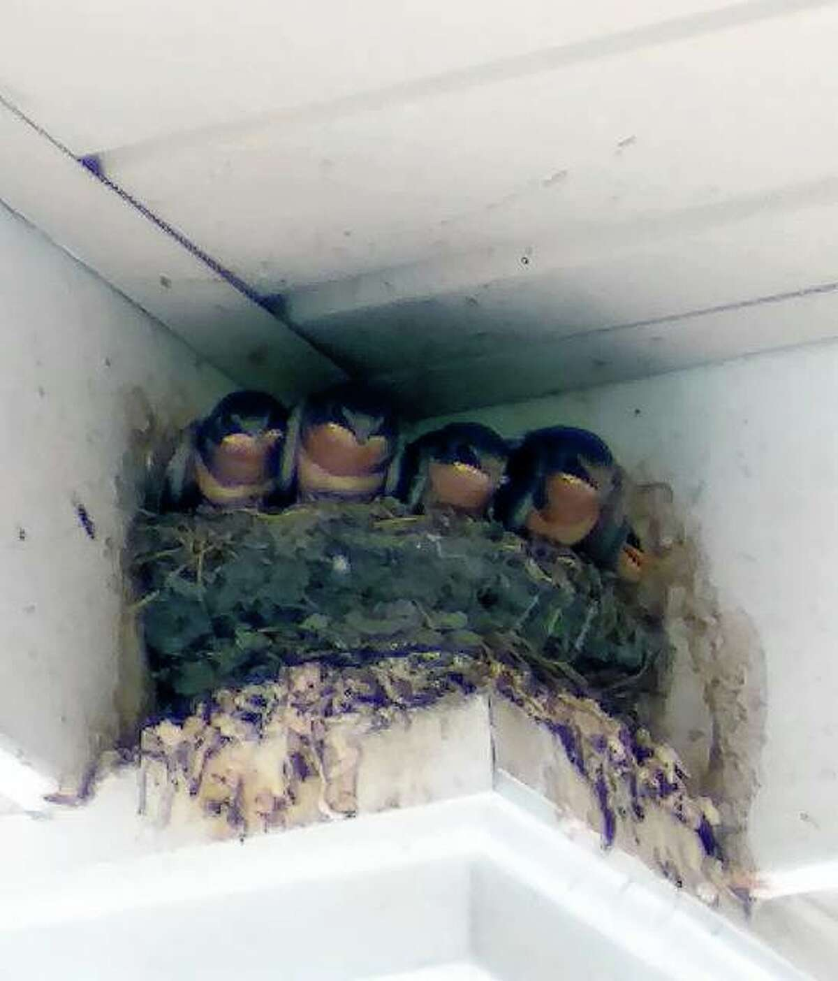 Young barn swallows sit in a nest Tuesday afternoon at Jacksonville Area Senior Center in Community Park. Seniors visiting the center were able to enjoy watching the birds.