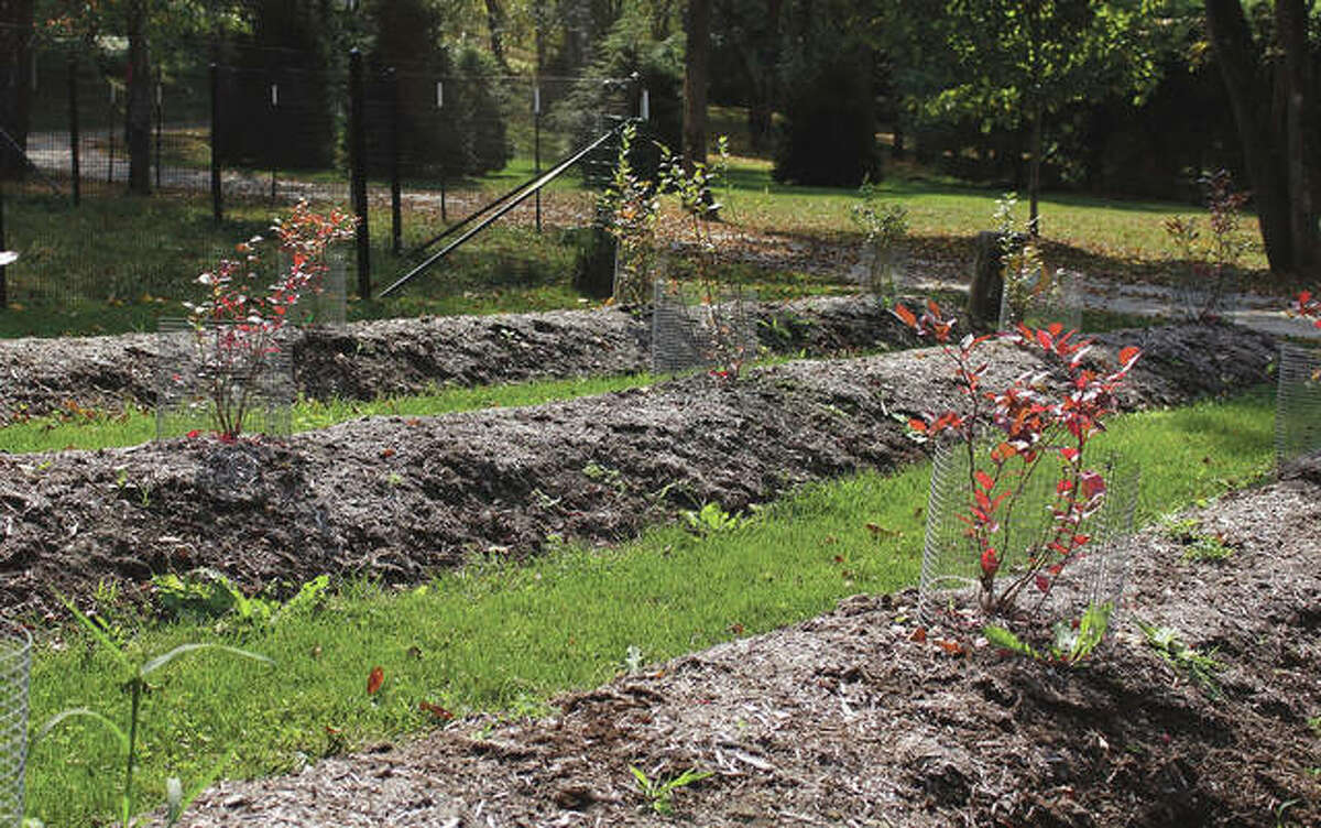 Planted on mounds, these blueberry plants enjoy well-aerated soil, as do most cultivated plants, in this otherwise wet location.