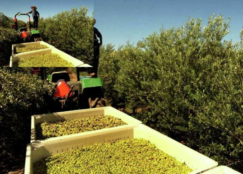 Texas olive growers juiced up - San Antonio Express-News