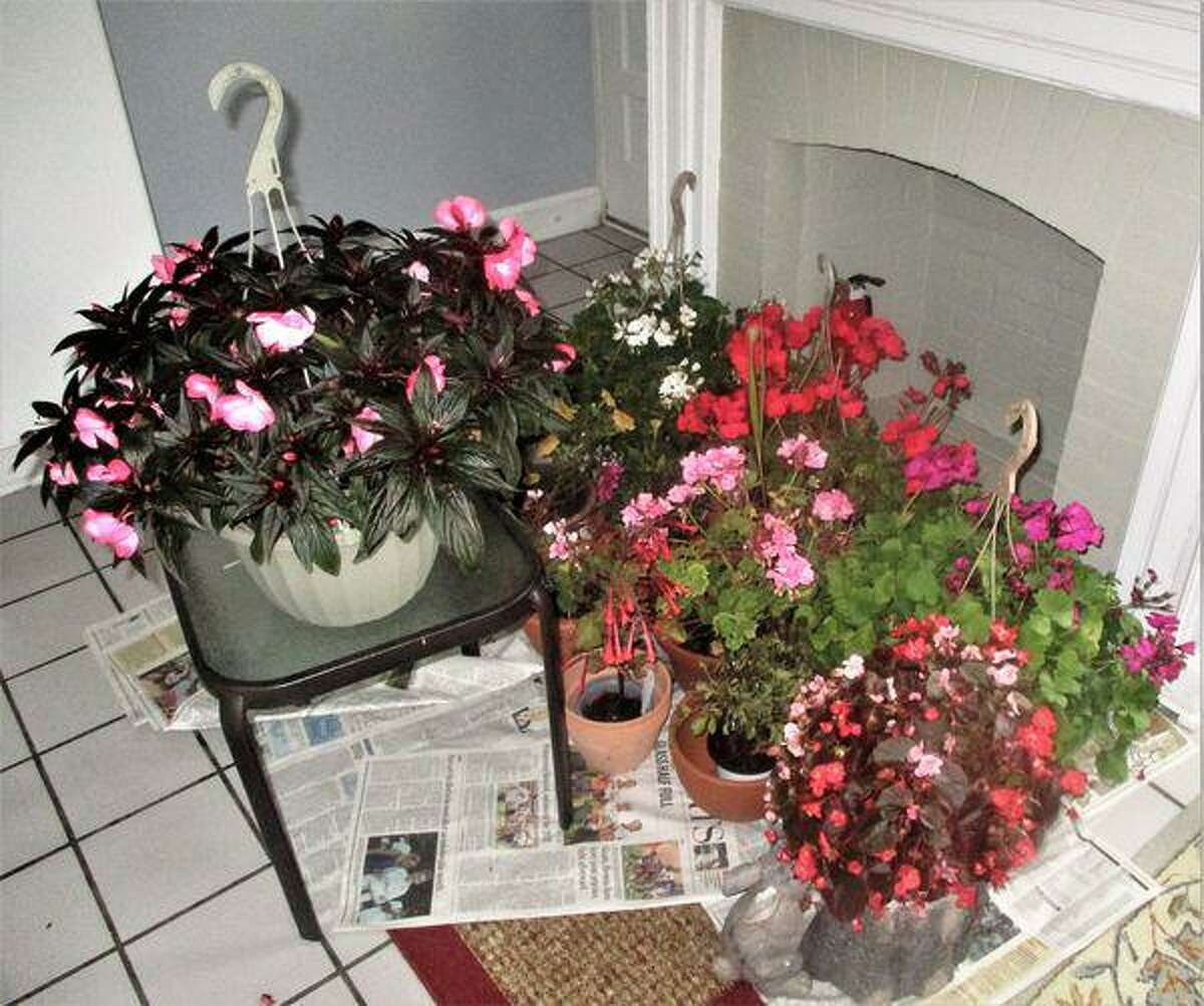 Gardening plants that Jaacks moved inside when she was expecting a hurricane.