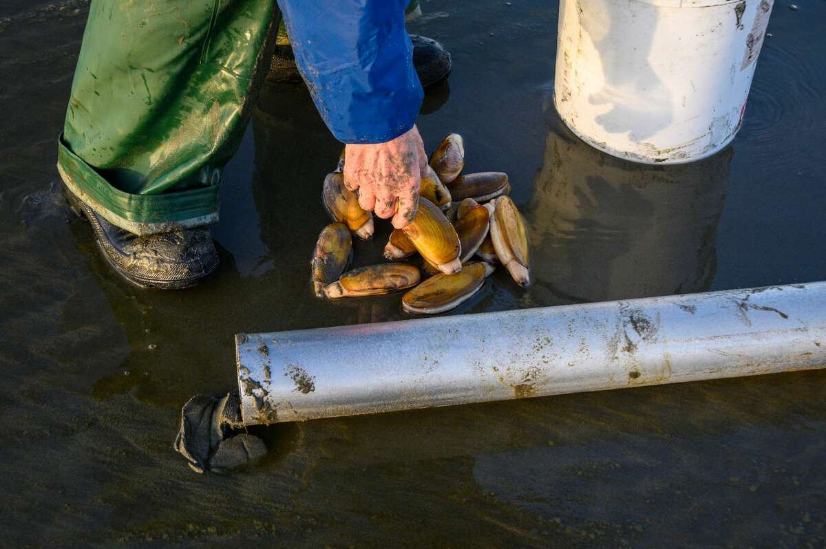 Senior man picking up freshly rinsed off razor clams to put back in bucket, Ocean Shores, Washington.