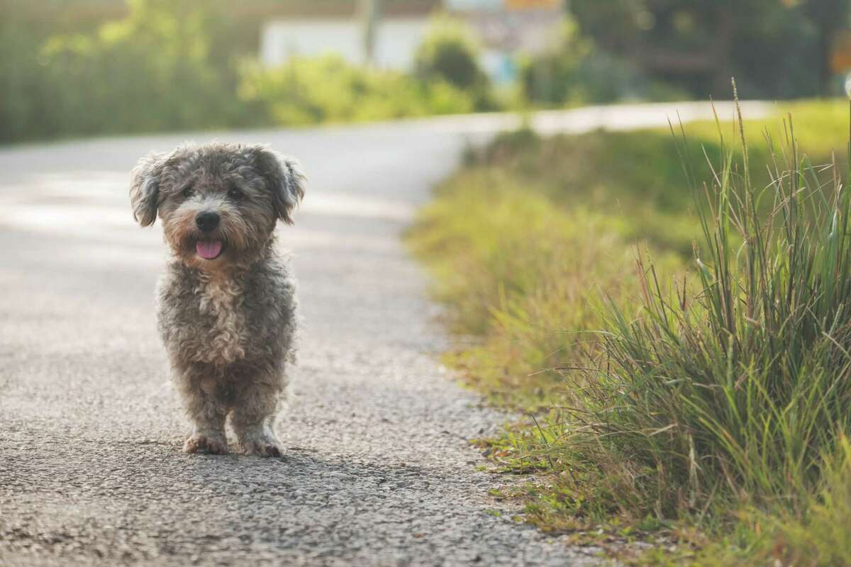 Legally, you can't keep a dog you rescue off the street after the owner is found.