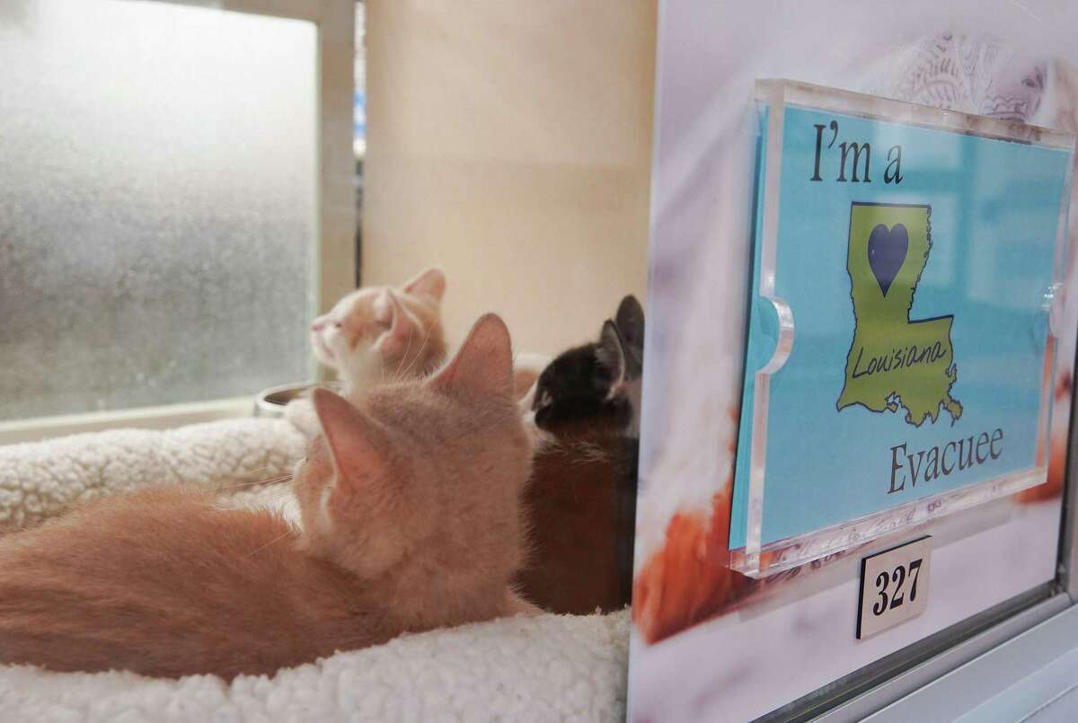 Three kittens chill out after being evacuated from Louisiana before Hurricane Ida made landfall and are not up for adoption at Houston SPCA on Monday, Aug. 30, 2021.