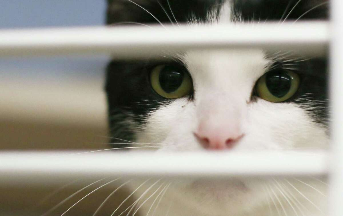 Milly, a cat that was evacuated from Louisiana before Hurricane Ida made landfall, peers out from her area at Houston SPCA on Monday, Aug. 30, 2021. She is one of the available cats and dogs that are up for adoption.