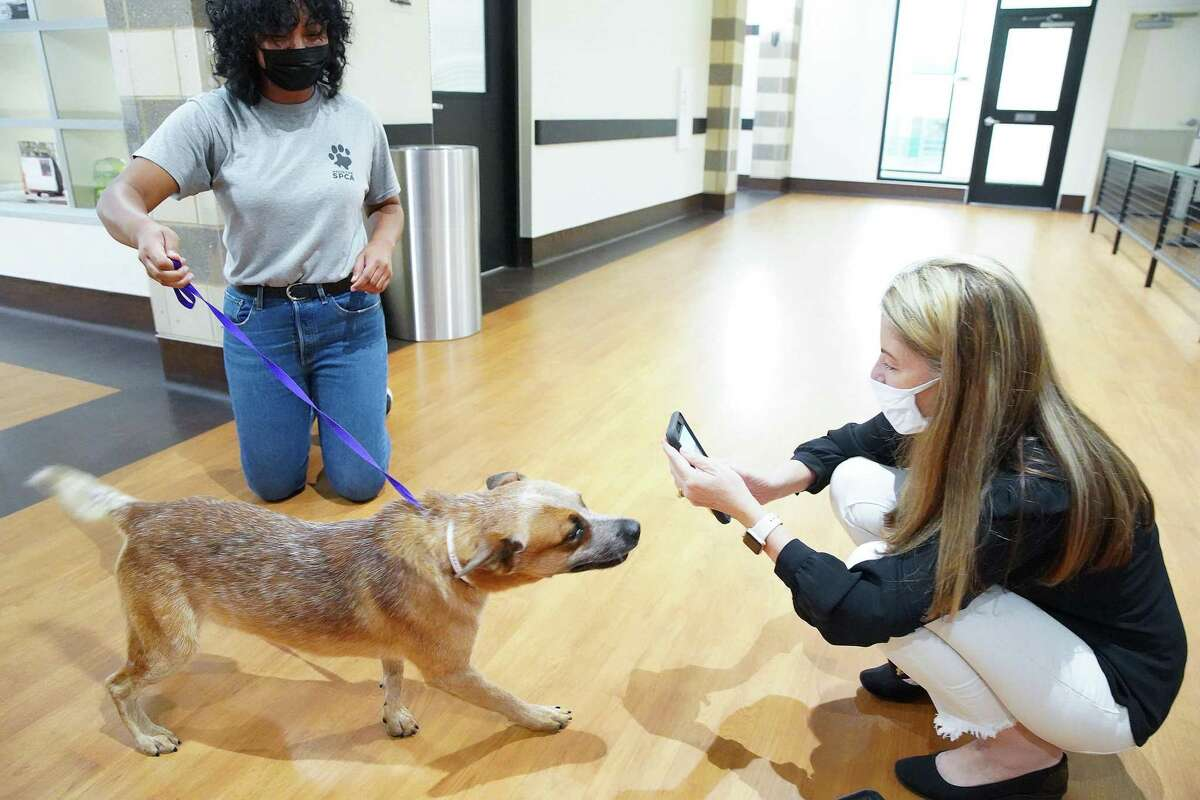 Julie Kuenstle takes a photo of Asher, a young cattle dog mix, that was evacuated from Louisiana before Hurricane Ida made landfall, at Houston SPCA on Monday, Aug. 30, 2021. Asher is one of the available cats and dogs that are up for adoption.