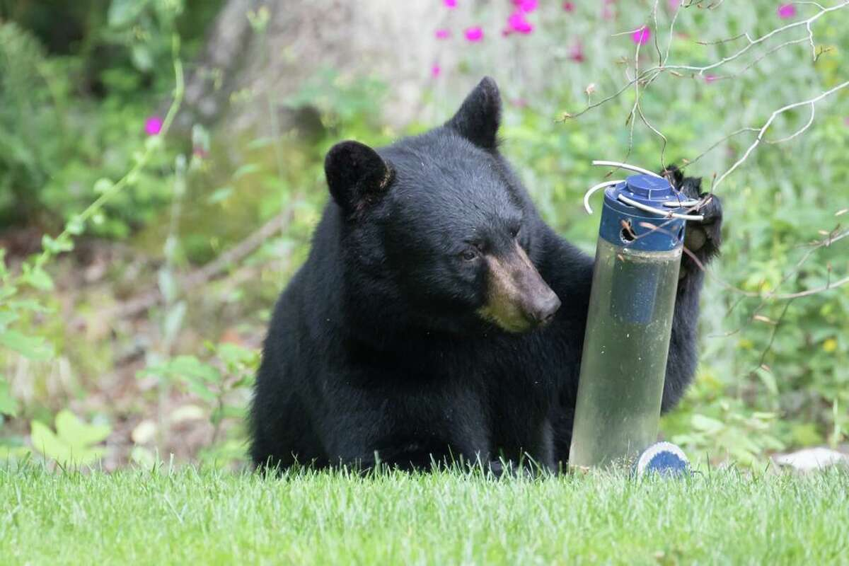 """When Allan Welby put out a bird feeder in his backyard for the season, the last thing he expected to see there was a black bear. But on June 28, the very same animal roamed into Welby's backyard from Old Sib Preserve to inspect the feeder, pawing and prodding at its contents. """"As much as I love feeding the birds, there are so many bears around now that you have to put the feeders away for the summer,"""" Welby told Hearst Connecticut Media. """"Lesson learned."""""""