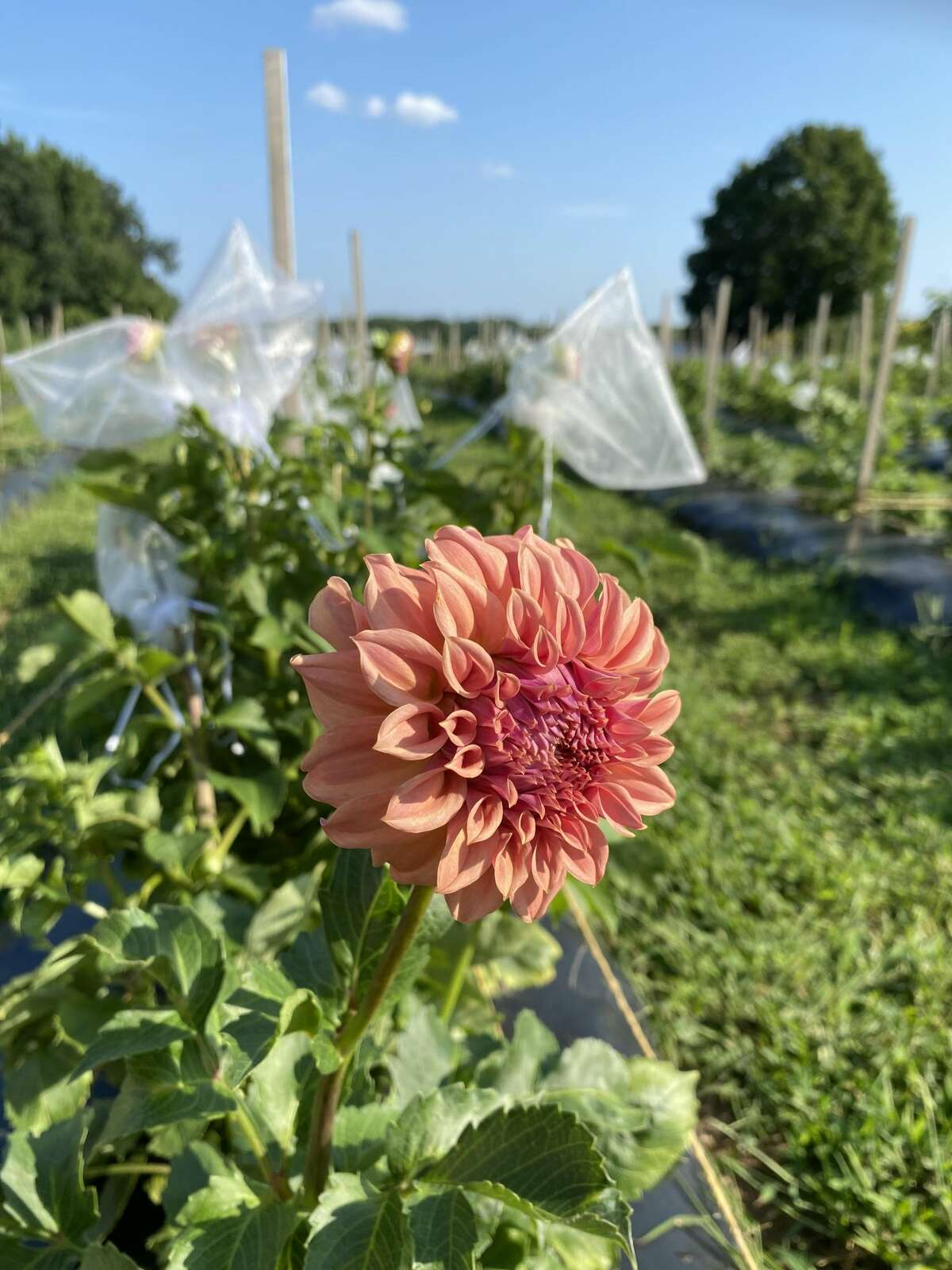 A dahlia at Willow View Farm in West Suffield, Conn., a pick your own flower farm owned by former WFSB host Julie Harrison.