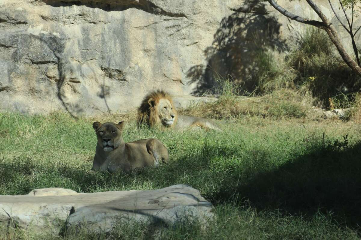 San Antonio Zoo is scheduled to receive its first shipment of a COVID-19 vaccine for animals and plans to administer the first doses in the coming weeks.