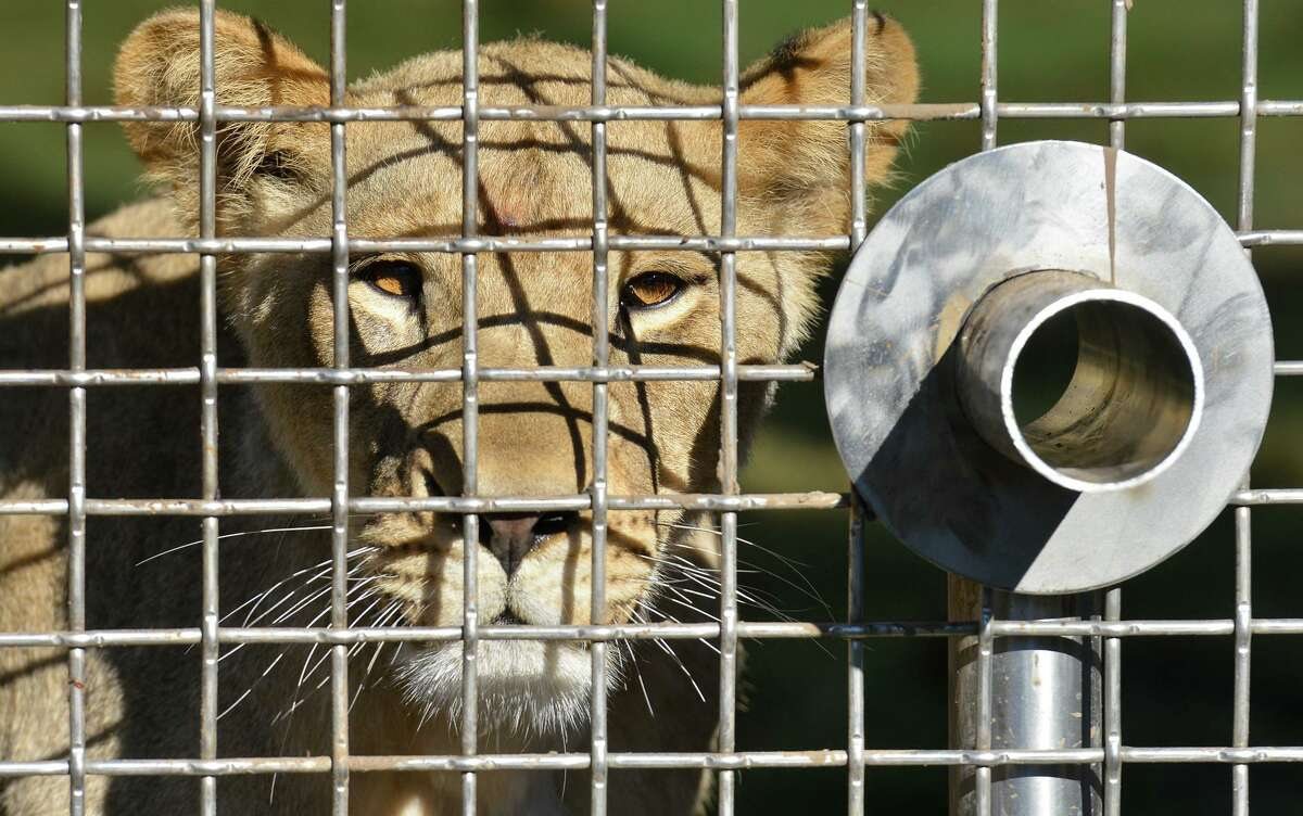 A lion looks out from its enclosure in 2016 at the San Antonio Zoo.