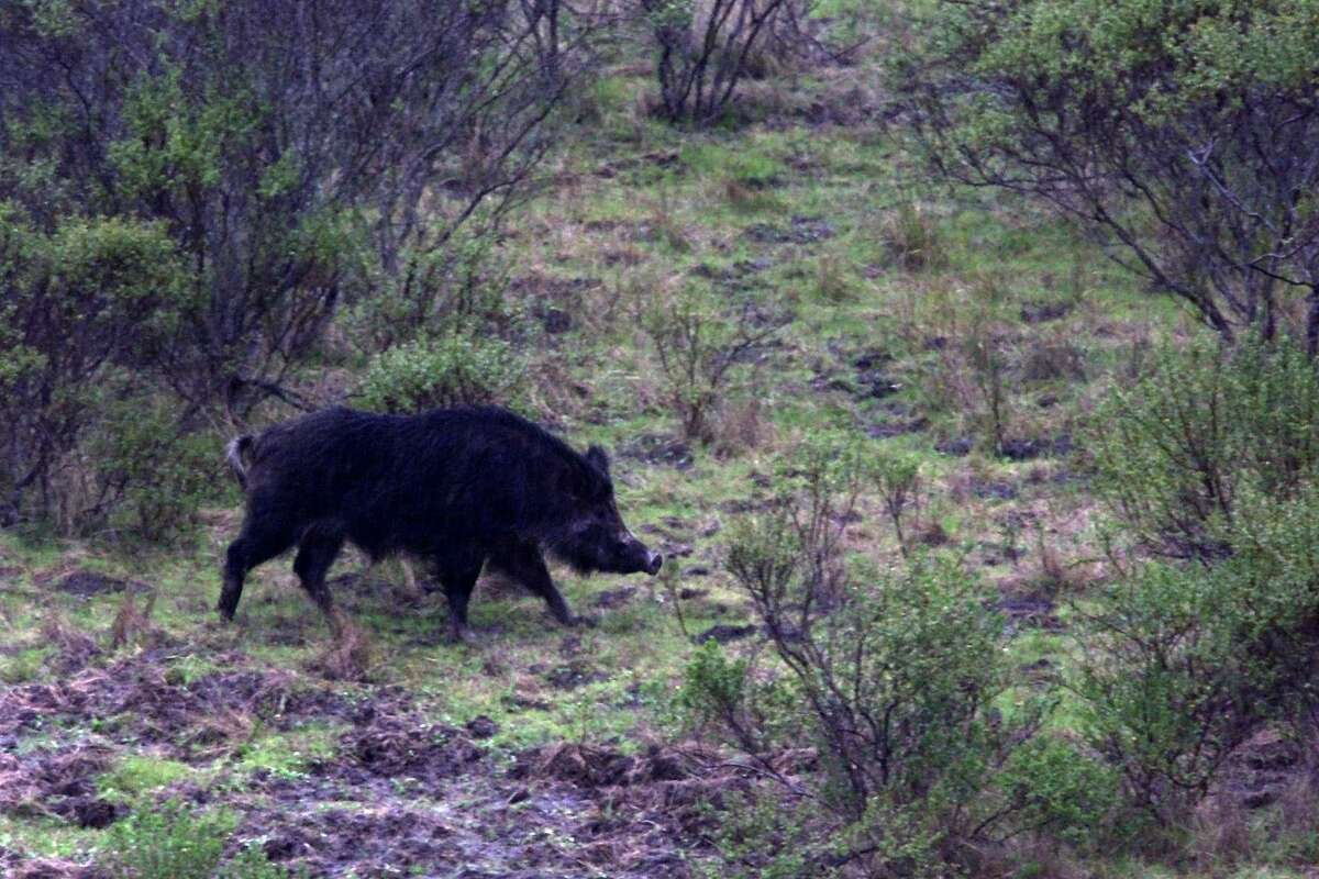 San Ramon resident Ted Hunting posted a video of a group of wild boars ripping up a front lawn on Twitter.