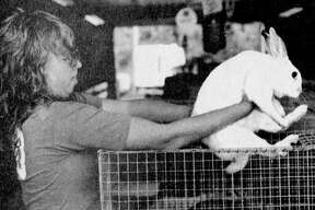 Sally Gage, of Manistee, loads Sarah, one of her 10 rabbits, into its cage at the 4-H livestock barn this morning at the Manistee County Fairgrounds. The photo was published in the News Advocate on Sept. 2, 1981. (Manistee County Historical Museum photo)