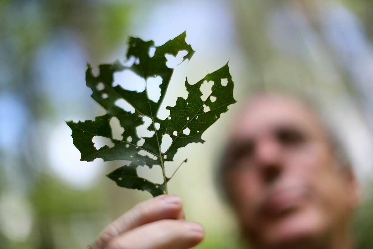 Mecosta County residents concerned about the gypsy moth infestation can now take a tentative sigh of relief as signs point toward a collapse of the population thanks to the insects' natural predators.