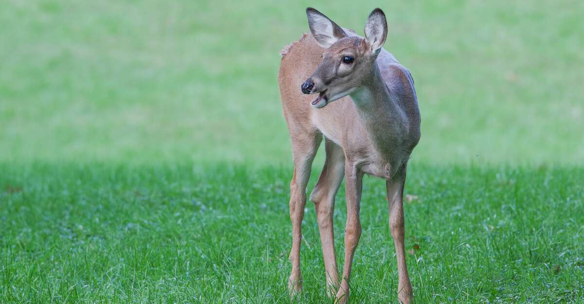 Deer with mouth open, could be used for caption or deer vocalizing