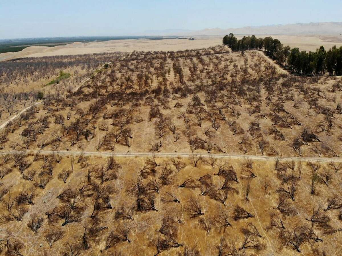 In this aerial photo is an abandoned almond orchard in Newman, Calif., on July 20, 2021. California's deepening drought threatens its $6 billion almond industry, which produces about 80 percent of the world's almonds. As water becomes scarce and expensive, some growers have stopped irrigating their orchards and plan to tear them out years earlier than planned.