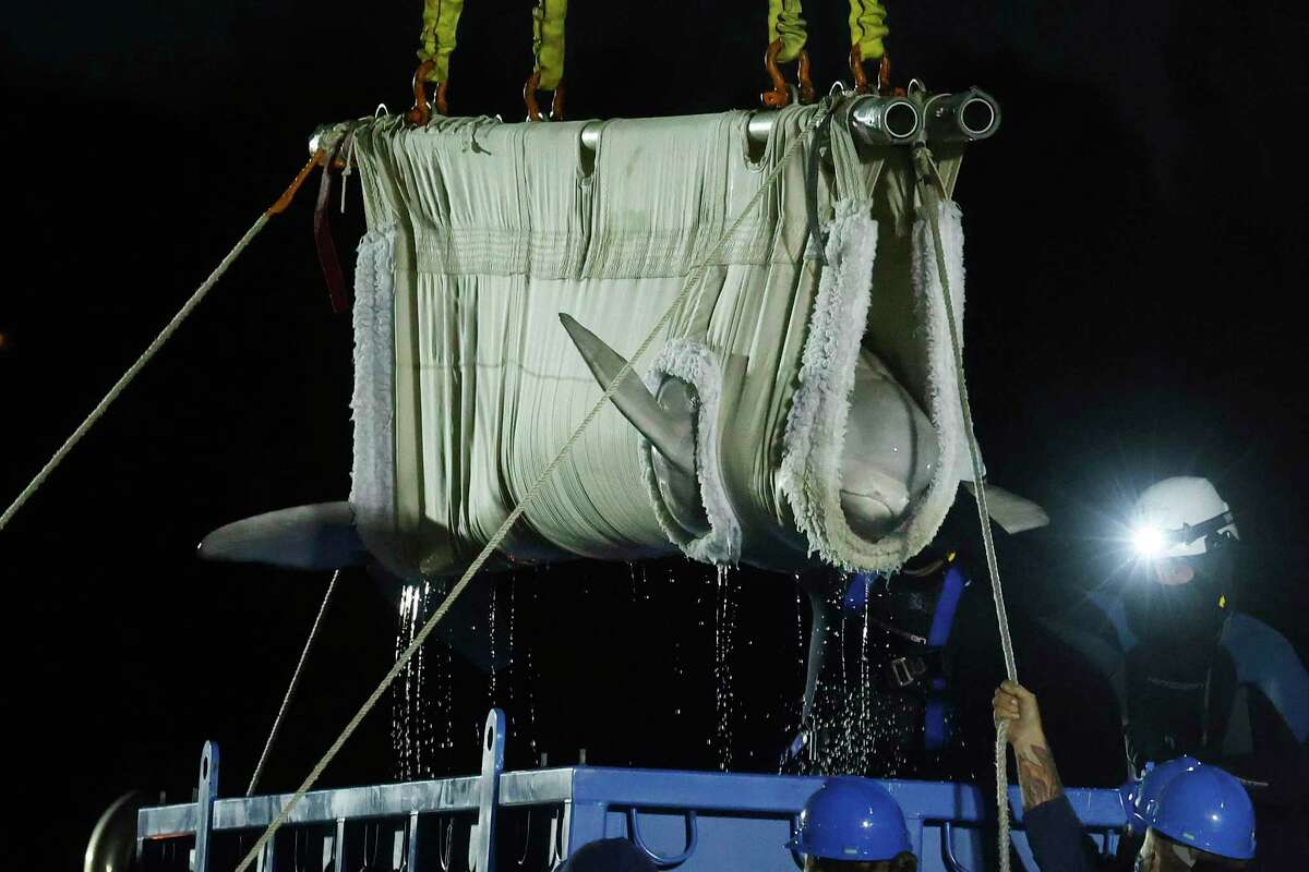 A beluga whale is lifted from a transport truck after arriving at Mystic Aquarium, May 15, 2021 in Mystic, Conn.
