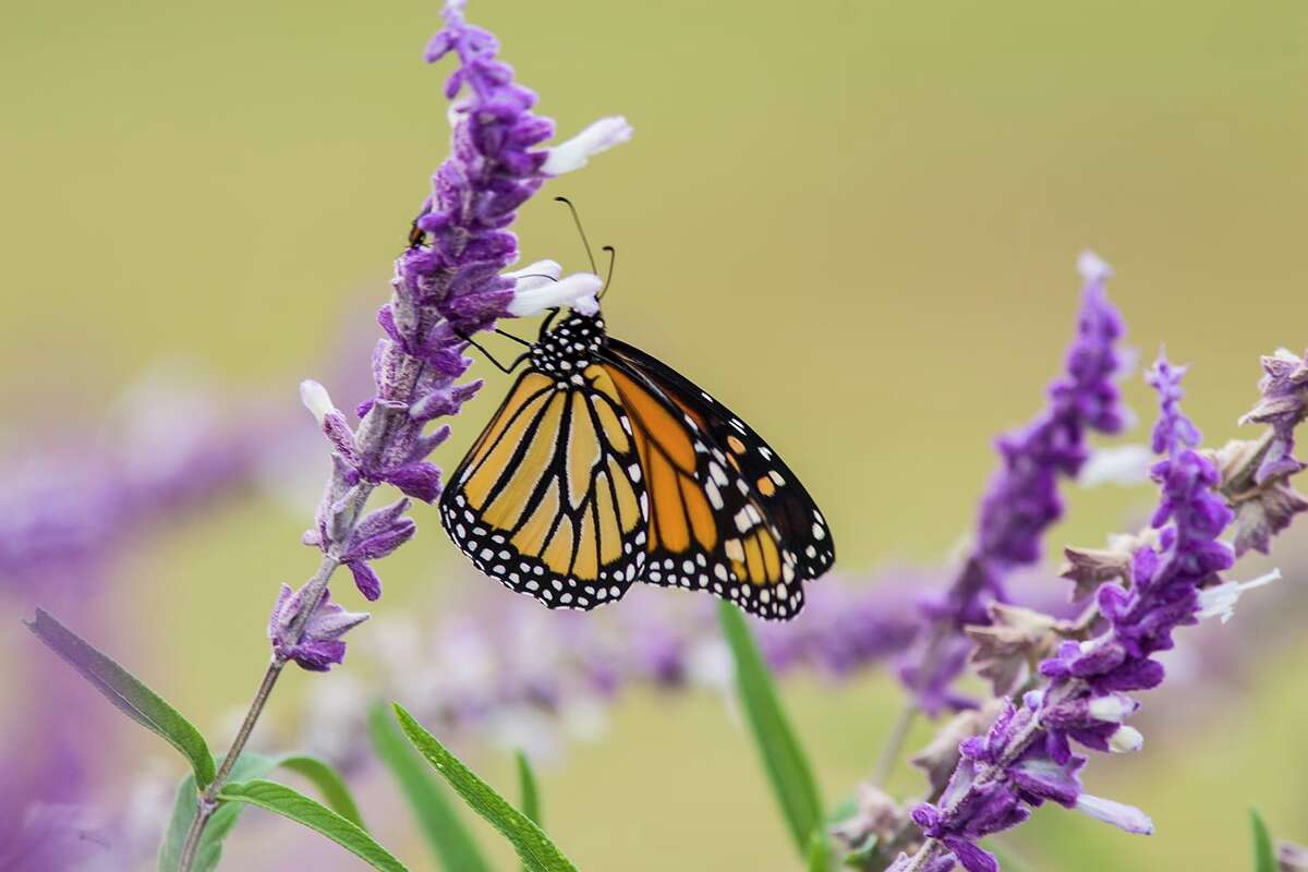 Monarch butterflies are on the move from breeding grounds in southern Canada and the United States to the oyamel fir forests in Michoacan, Mexico. Photo Credit: Kathy Adams Clark. Restricted use.