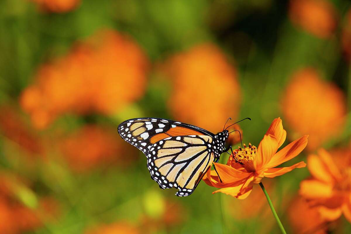Monarch butterflies are moving through Texas during their annual autumn migration. Photo Credit: Kathy Adams Clark. Restricted use.