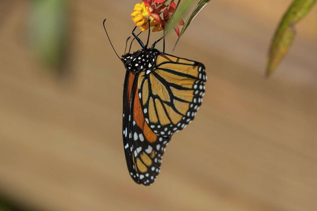 Help monarch butterflies thrive by planting native milkweed. Monarchs use these plants as a host plant for their larva and as a nectar source. Photo Credit: Kathy Adams Clark. Restricted use.