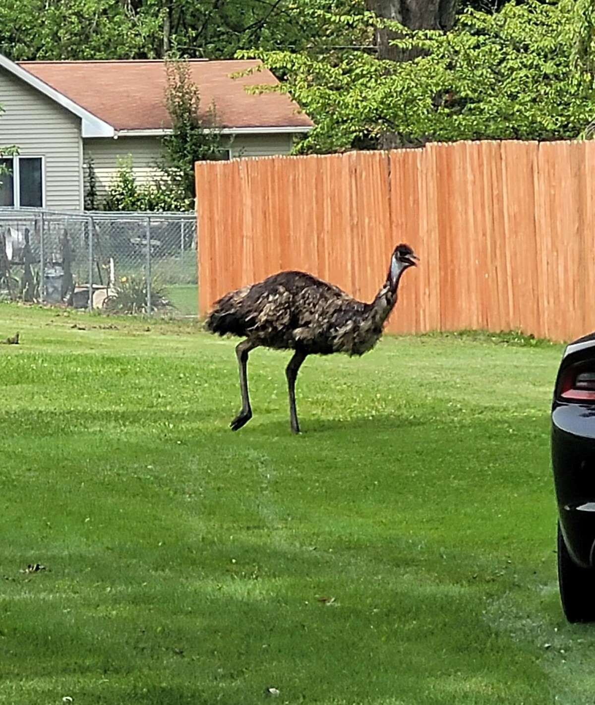 An emu runs loose through Isabella County on Tuesday, Aug. 31, 2021.