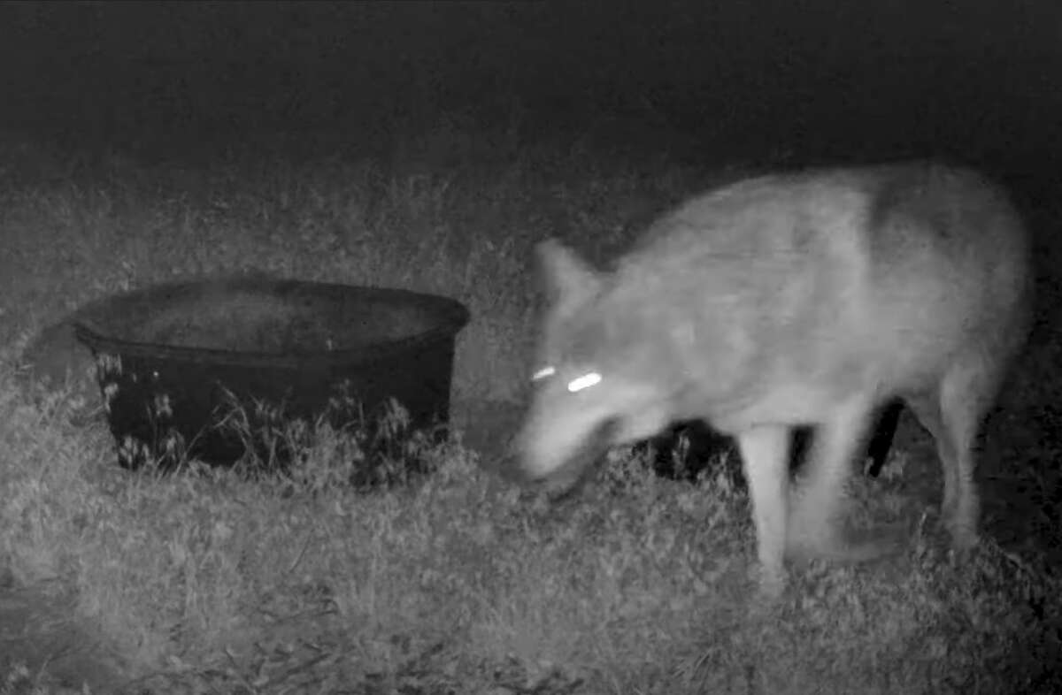 The gray wolf caught on a trail camera in Kern County, Calif. May 15, 2021.