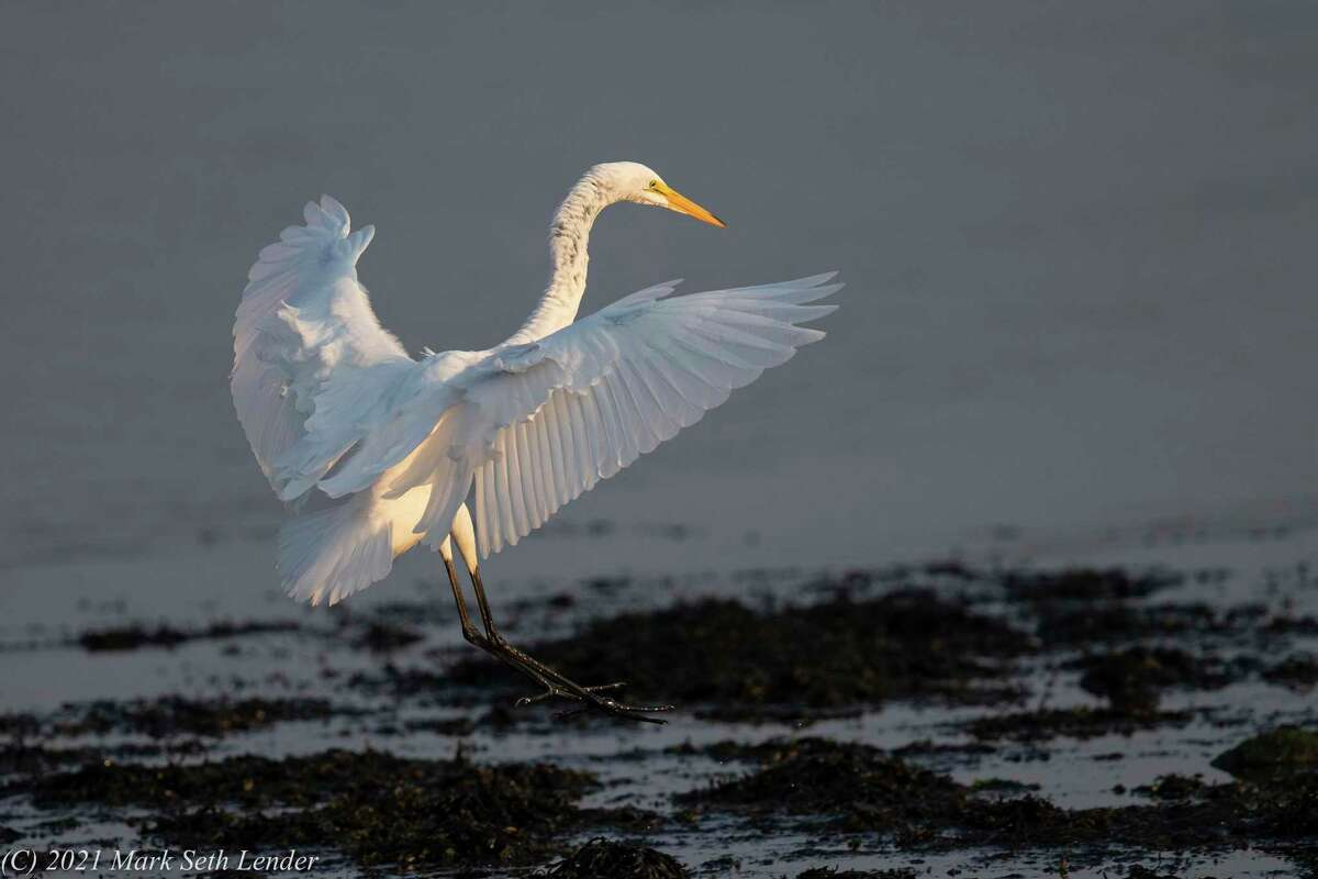 Great Egret landing at sunrise