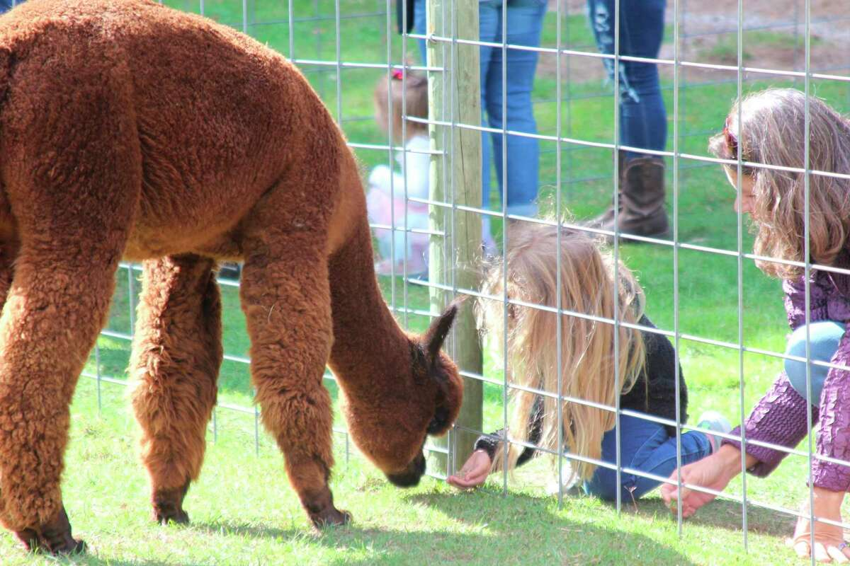 Visitors to the Alpaca Farm Day at Crystal Lake Alpaca Farm will be able to get closer to the alpacas than they could ordinarily get. (File Photo)