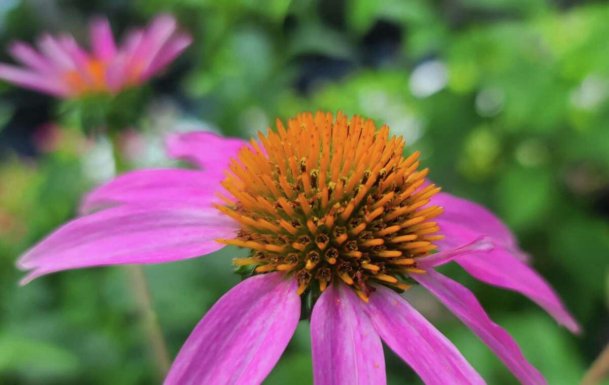 Purple coneflower (Echinacea purpurea) is a perennial that can be planted now for blooms next spring.