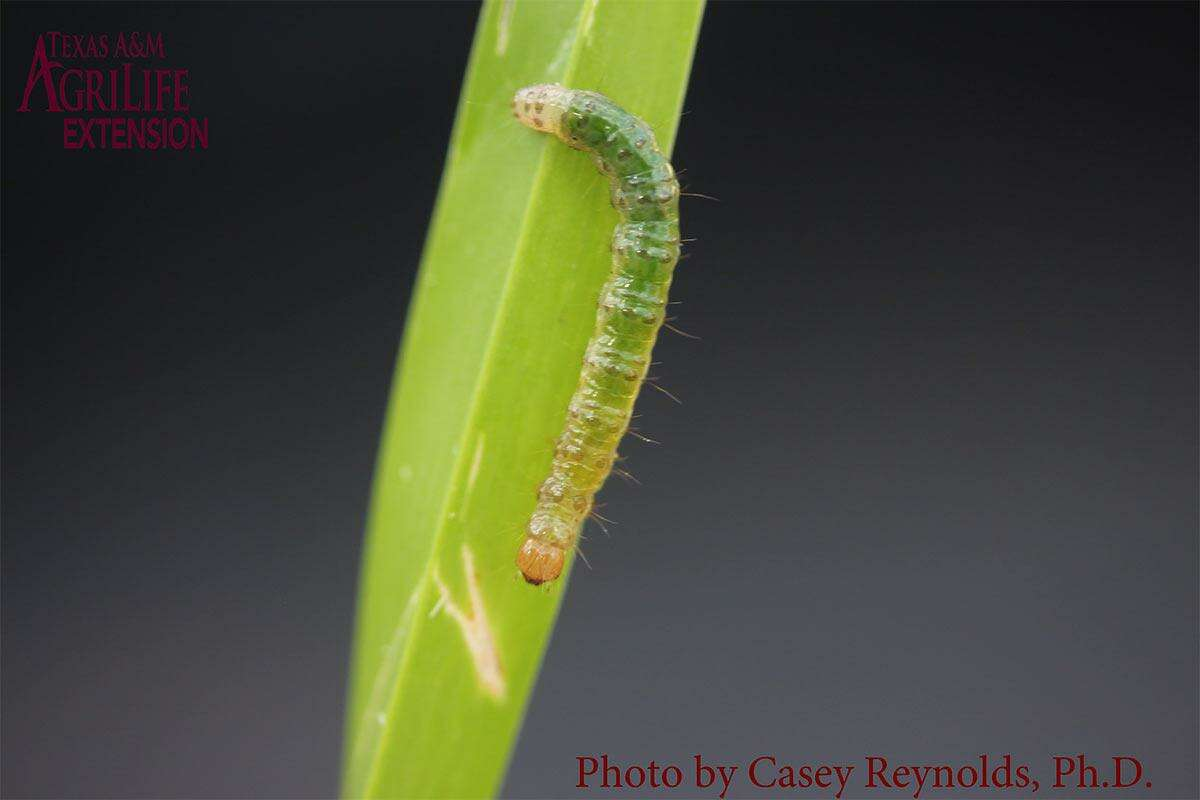 Tropical sod webworms feeding on turfgrass may be observed at night or on overcast days.